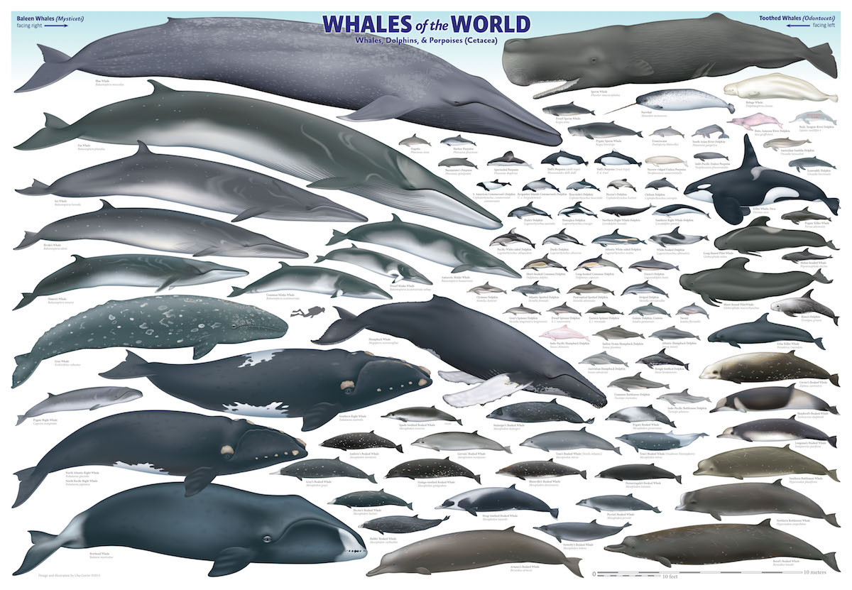 Whales of the World Poster - Save The Whales